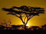 Acacia Tree Silhouette at Twilight on the Savanna of Tanzania, East Africa Photographic Print by Arthur Morris