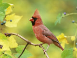 Male Northern Cardinal (Cardinalis Cardinalis) in a Grape (Vitis), North America Photographie par Steve Maslowski