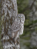 Great Gray Owl, Strix Nebulosa, North America Photographic Print by Garth McElroy