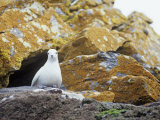 Snow Petrel on its Cliffside Nest, Pagodroma Nivea, South Orkney Islands Photographie par Gerald & Buff Corsi