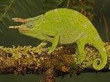 Usambara 3-Horn Chameleon, Chamaeleo Deremensis Photographic Print by Jack Michanowski