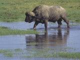 African Buffalo Walking Through a Grassy Waterhole, Syncerus Caffer Caffer, Kenya, Africa Photographic Print by Joe McDonald