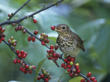 Swainson's Thrush (Catharus Ustulatus) Eating a Spicebush Berry, North America Papier Photo par Steve Maslowski