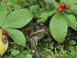 Spotted Frog, Rana Pretiosa, Among Bunchberry, Cornus Canadensis, Western North America Photographic Print by Joe McDonald