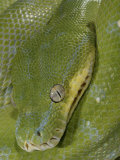 Green Tree Python, , Chondropython Viridis, Adult Specimen, Australia, New Guinea Photographic Print by Jim Merli