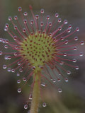 Sundew Leaf (Drosera) with its Secretory Trichomes Photographic Print by Patrick Endres