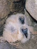 Black Vulture Chicks in the Nest (Coragyps Atratus), Southern USA Photographic Print by Tom Ulrich