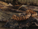 Pygmy Rattlesnake, Sistrurus Miliarius, South Carolina, USA Photographic Print by Joe McDonald
