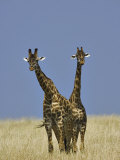 Pair of Masai Giraffes (Giraffa Camelopardalis Tippelskirchi), Masai Mara Game Reserve, Kenya Photographic Print by Adam Jones