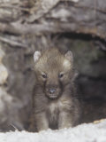 Gray Wolf Pup, Canis Lupus, North America Photographic Print by Joe McDonald