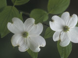 Dogwood Flowers (Cornus Florida), North America Photographic Print by Leroy Simon