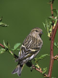 Female Purple Finch, Carpodacus Purpureus, the State Bird of New Hampshire, USA Photographic Print by Gustav W. Verderber