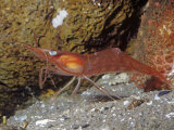 Yellowleg Shrimp (Pandalas). Rocky Coast, Alaska to California, USA Photographic Print by Ken Lucas