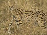 Serval, Felis Serval, Masai Mara, Kenya, Africa Photographic Print by Joe McDonald