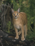 Caracal or African Lynx, Caracal Caracal, Africa Photographic Print by Adam Jones