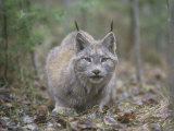 Canada Lynx (Lynx Canadensis), North America Photographic Print by Leonard Lee Rue