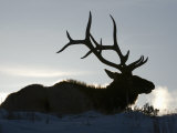 Bull Elk (Cervus Elaphus) in Winter Photographic Print by Tom Walker