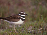 Killdeer, Charadrius Vociferus, North America Photographic Print by Arthur Morris