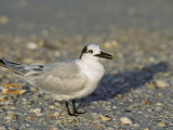 Sandwich Tern, Sterna Sandvicensis, North America Photographic Print by John & Barbara Gerlach