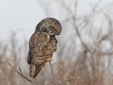 Great Gray Owl (Strix Nebulosa) Hunting.\R\N (Strix Nebulosa Photographic Print by Robert Servrancky