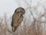 Great Gray Owl (Strix Nebulosa) Hunting.\R\N (Strix Nebulosa Photographic Print by Robert Servrancky
