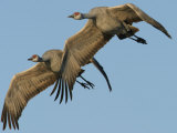 Sandhill Crane, Grus Canadensis, in Flight Photographic Print by Jack Michanowski