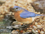 Eastern Bluebird, Sialia Sialis, Eastern USA Photographie par John Cornell