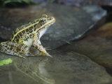 Pickerel Frog, Rana Palustris, North America Photographic Print by Joe McDonald