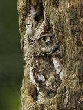 Eastern Screech Owl in Gray Phase (Otus Asio), Eastern USA Fotografisk trykk av Adam Jones