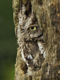 Eastern Screech Owl in Gray Phase (Otus Asio), Eastern USA Photographic Print by Adam Jones