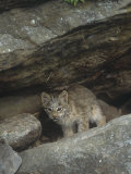 Canadian Lynx Kitten, Lynx Canadensis, North America Photographic Print by Jack Michanowski