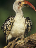 Red-Billed Hornbill, Tockus Erythrorhynchus, East Africa Photographic Print by Joe McDonald