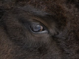 American Bison Eye (Bison Bison) Photographic Print by Tom Walker