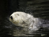A California Sea Otter (Enhydra Lutris) Shakes Off Sea Water, Monterey, California, USA Photographic Print by David Fleetham