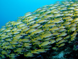 Fivelined Snapper School (Lutjanus Quinquelineatus) Indian Ocean Photographic Print by Reinhard Dirscherl