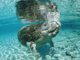 West Indian Manatee, Trichechus Manatus Latirostris, Usa, Florida, Fl, Crystal River Photographic Print by Reinhard Dirscherl