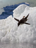 Adelie Penguin (Pygoscelis Adeliae) Paulet Island, Antarctic Peninsula, Antarctica Photographic Print by Gerald & Buff Corsi