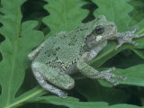 Gray Treefrog (Hyla Versicolor), Eastern USA Photographic Print by Gary Meszaros