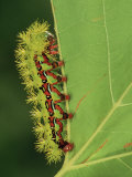 Saturniid Moth Larva or Caterpillar (Molippa Rosea), Family Saturniidae, Mexico Photographic Print by Leroy Simon