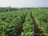 Tobacco Crop, Nicotiana Tabacum, Bluegrass Region of Central Kentucky, USA Photographic Print by Adam Jones