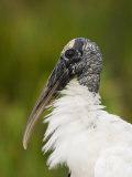 Wood Stork (Mycteria Americana) Reprodukcja zdjęcia autor John Cornell