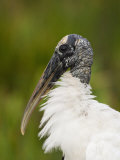 Wood Stork (Mycteria Americana) Photographic Print by John Cornell