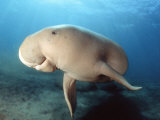 Dugong (Dugong Dugon), Indonesia Photographic Print by David Fleetham