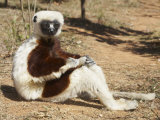 Coquerel's Sifaka (Propithecus Verreauxi Coquereli) Sunbathing, Madagascar Photographic Print by Christopher Crowley