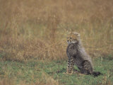 Cheetah Cub (Acinonyx Jubatus), East Africa Photographic Print by John & Barbara Gerlach