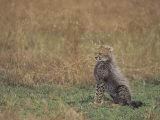 Cheetah Cub (Acinonyx Jubatus), East Africa Photographic Print by John & Barbara Gerlach