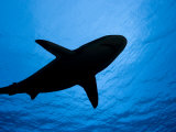 Silhouette of a Gray Reef Shark (Carcharhinus Amblyrhynchos), Yap, Micronesia Photographic Print by David Fleetham