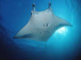 Manta Ray (Manta Birostris), Maldives Islands, Indian Ocean Fotografie-Druck von Reinhard Dirscherl