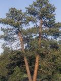Ponderosa Pines, Pinus Ponderosa, Western North America Photographic Print by Doug Sokell