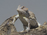 Short-Horned Lizard, Phrynosoma Douglassi, Arizona, USA Photographic Print by Joe McDonald